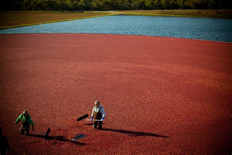 Exploring Massachusetts' Cranberry Bogs  Consider The