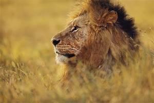 Lion Head Side View