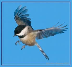 Chickadee in Flight 3 - a photo on Flickriver