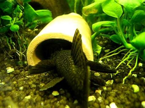 bristlenose catfish breeding antennenwelse haben sich