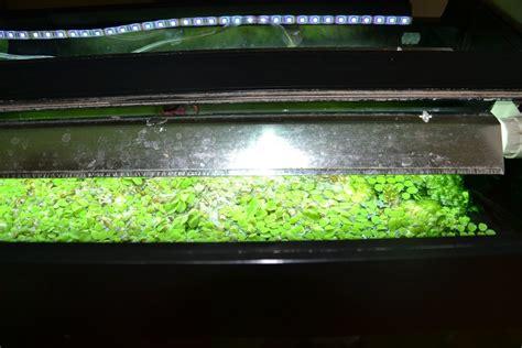 lentille d eau aquarium photos d aquarium page 42