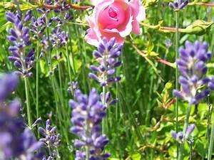 Begleitpflanzen Für Rosen : mischkulturen diese begleitpflanzen passen zu rosen ~ Lizthompson.info Haus und Dekorationen