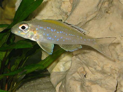 xenotilapia spilopterus eau douce afrique lac