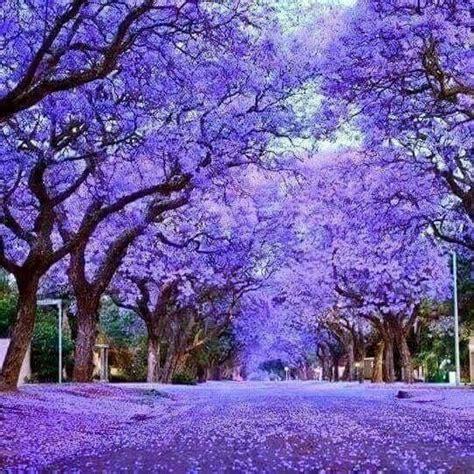 jacaranda tree the 25 best ideas about jacaranda trees on pinterest orange south africa purple trees and