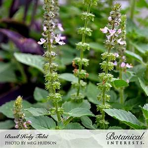 Tulsi Holy Basil Seeds   Organic  Botanical Interests