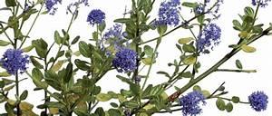 Arbuste Fleuri En Pot : c anothe arbuste persistant fleurs bleues conseil ~ Premium-room.com Idées de Décoration