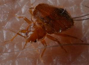 bed bugs and cockroaches With bed bug scientific name