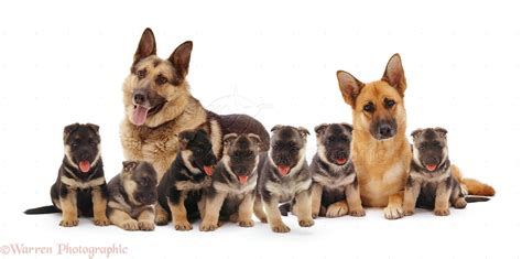 dogs alsatian family photo wp