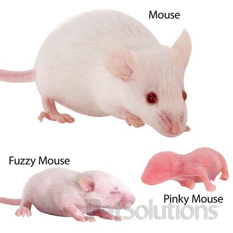 feeder mice quot pocket pets quot 4 sale