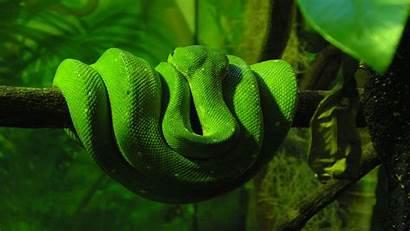 Snake Wallpapers Cobra Cool 1080p Indian King