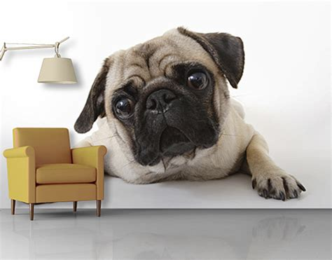 photo wall mural pug wallpaper wall art wall decor dog