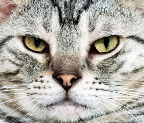 Shorthair Cat - americanshorthair org all about american shorthair cats