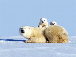 Cute Polar Bear Cubs Playing