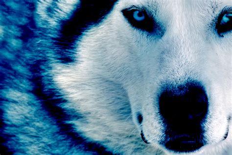 Blue Wolves Desktop Backgrounds