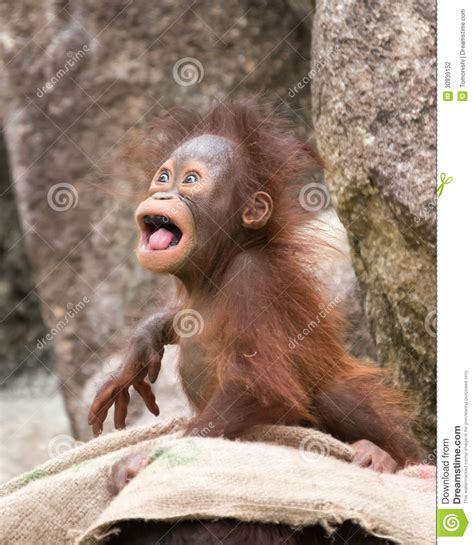 orangutan baby  mad  stock photography image