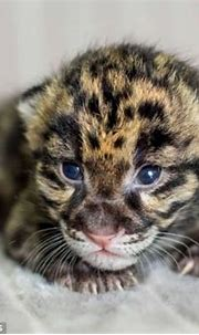 Welcome to the world: Battle to save rarest leopard ...