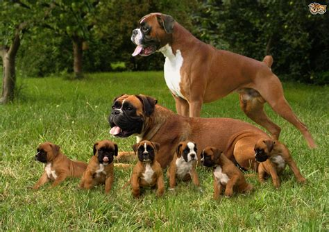 boxer dog breed facts highlights buying advice