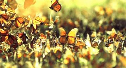 Butterfly Butterflys Animals Insects Animated Gifs Animation