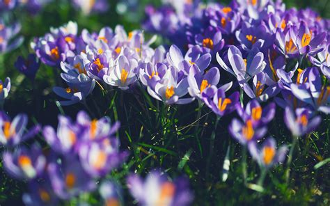 nw flower purple spring nature wallpaper