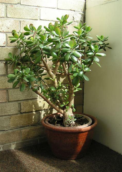 jade plant file crassula ovata 700 jpg wikipedia