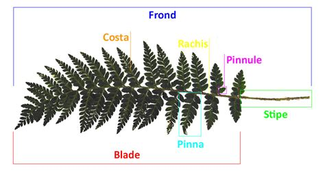 Parts of a fern - The British Pteridological Society