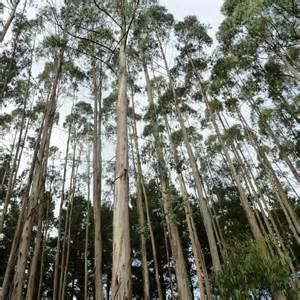 protea flower australian seed eucalyptus globulus