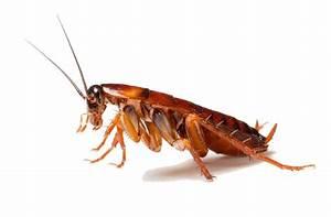 Cockroach Disease Clip Art – Cliparts