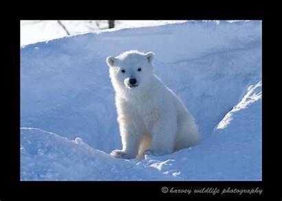 Bear Polar Sitting Cub Den Bears Wildlife