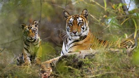 Tiger Photo by Top 35 Most Beautiful Tiger Wallpapers