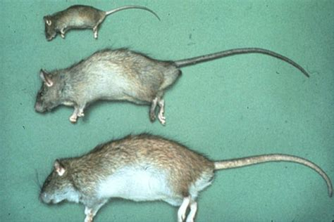mice vs rats differences between mice and rats terminix