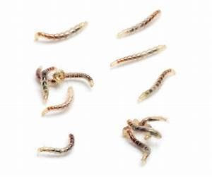 Fleas and flea control | PestXpert — PestXpert