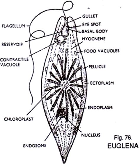 Diagram Euglena Sp by Structure Of Euglena With Diagram Zoology