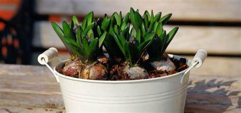 planter des bulbes d iris maison design hompot