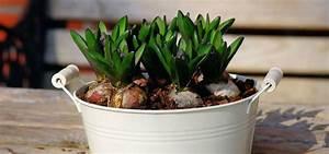 Planter Des Bulbes : le forcage des bulbes pour plantation en int rieur quand ~ Dallasstarsshop.com Idées de Décoration