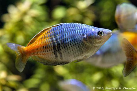 aquarium poisson eau douce aquarium d eau douce l aquariophilie pour les poissons d