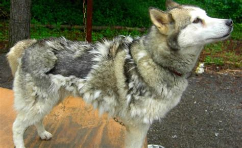 does malamute shed fur siberian huskies and their coats breeds picture