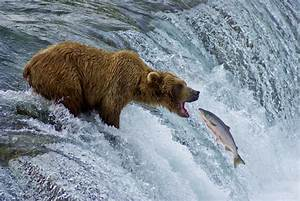 Bear Catching Fish | Grizzly & Salmon | Pinterest | More ...