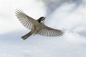 There were Black-capped and Mountain chickadees flying to ...