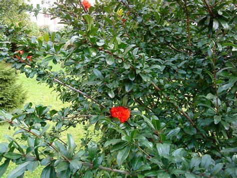 strauch mit roten blüten strauch mit roten bl 252 ten baumkunde forum