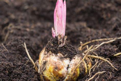 wann pflanzen zurückschneiden lilien 187 pflanzen pflegen vermehren und mehr