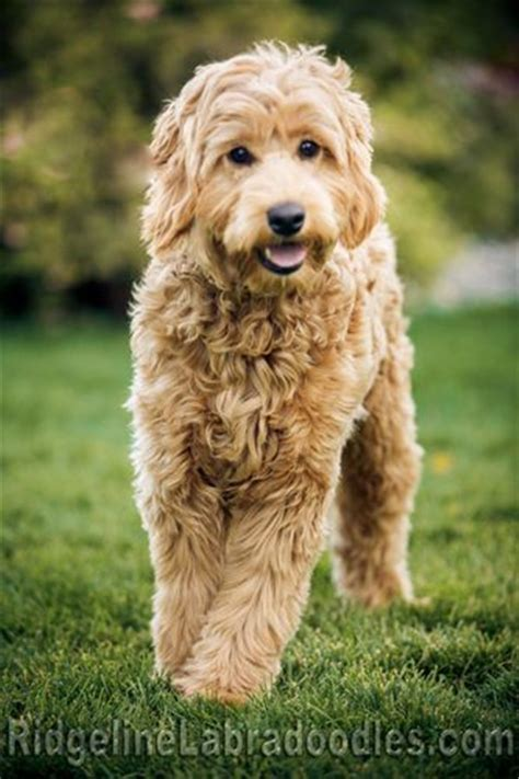 25 australian labradoodle puppies you will love fallinpets