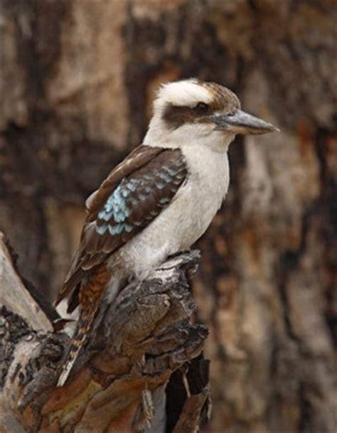 Laughing Kookaburra | BirdLife Australia