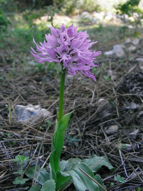 Orchis italica Poir. | Plants of the World Online | Kew ...
