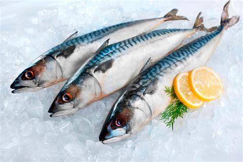 mackerel   sea