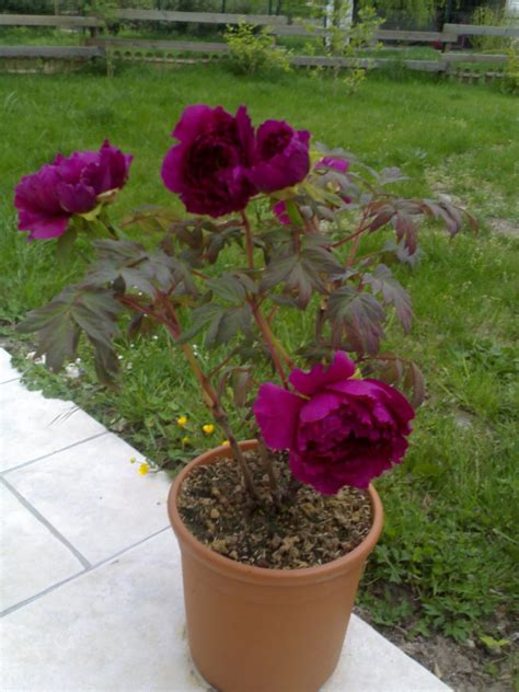 planter pivoine en pot planter pivoine en pot 28 images pivoine artificielle en pot h 35 cm 4 fleurs et 2 boutons