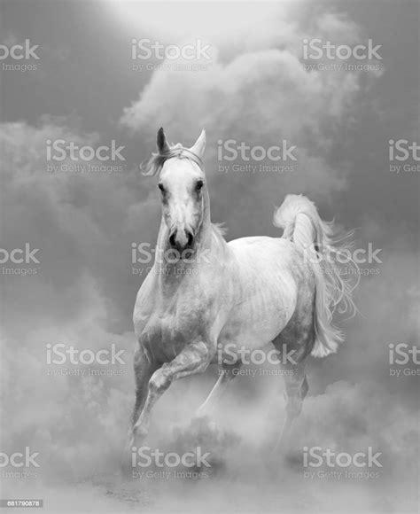 arabian stallion activity animal wildlife russia beauty
