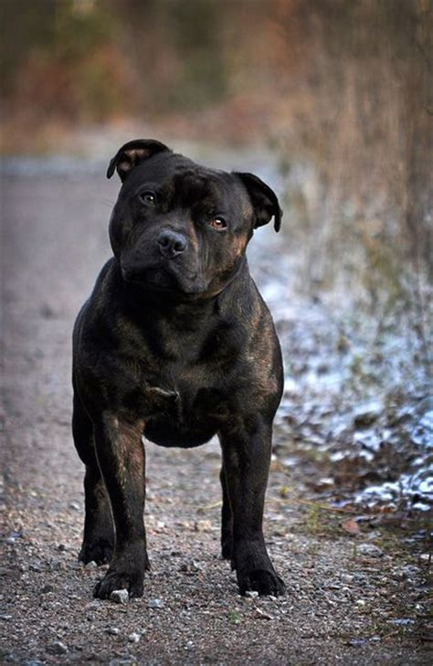 staffordshire pitbull staffordshire bull terrier puppies pinterest