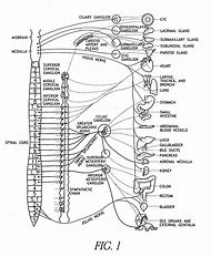 Best 25 ideas about nerve diagram find what youll love cat nervous system diagram ccuart Choice Image