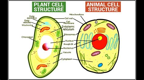 Animal Cell Wallpaper - animal and plant cell 187 4k pictures 4k pictures hq