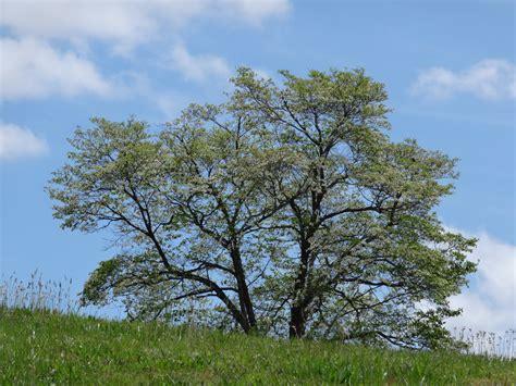 Ten Most Common Trees | | North Carolina Cooperative Extension